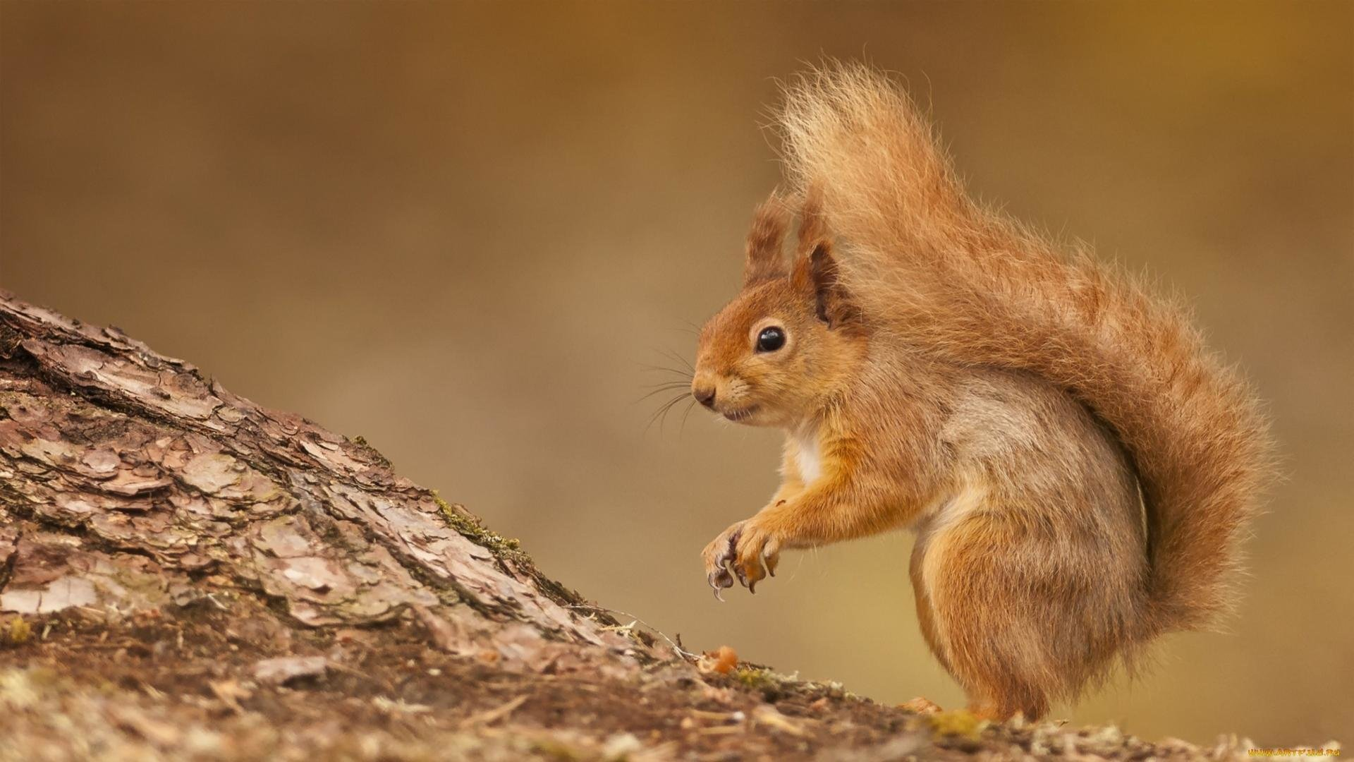 Download hd 1080p Squirrel PC background ID:311546 for free