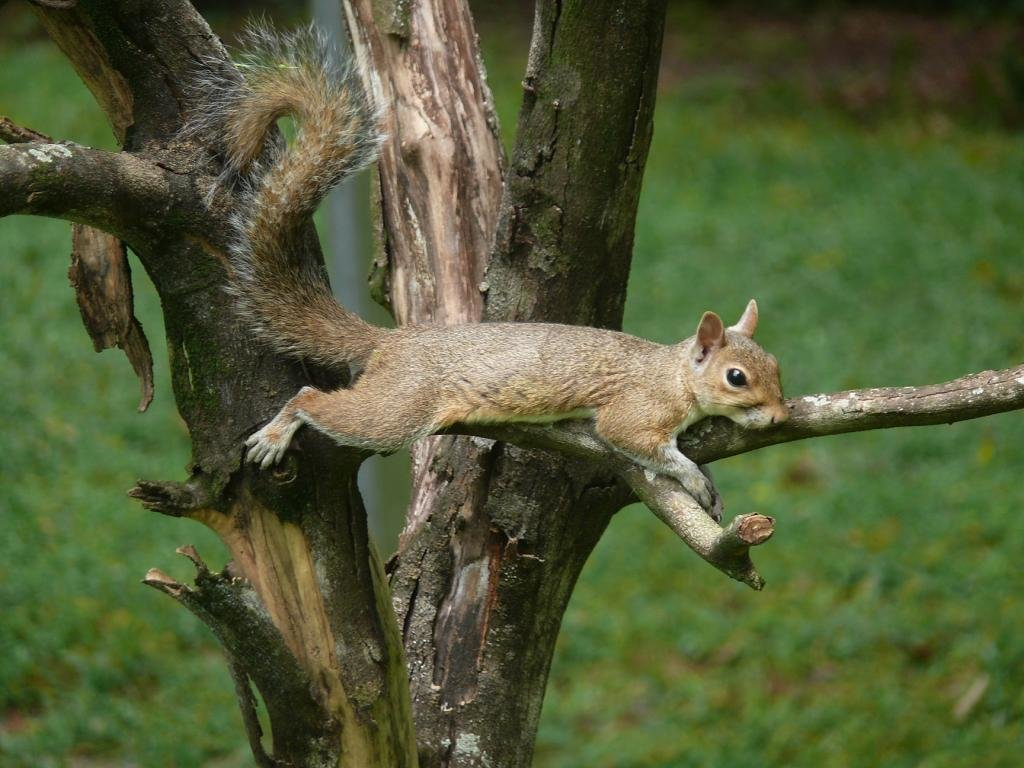 High resolution Squirrel hd 1024x768 wallpaper ID:311545 for PC