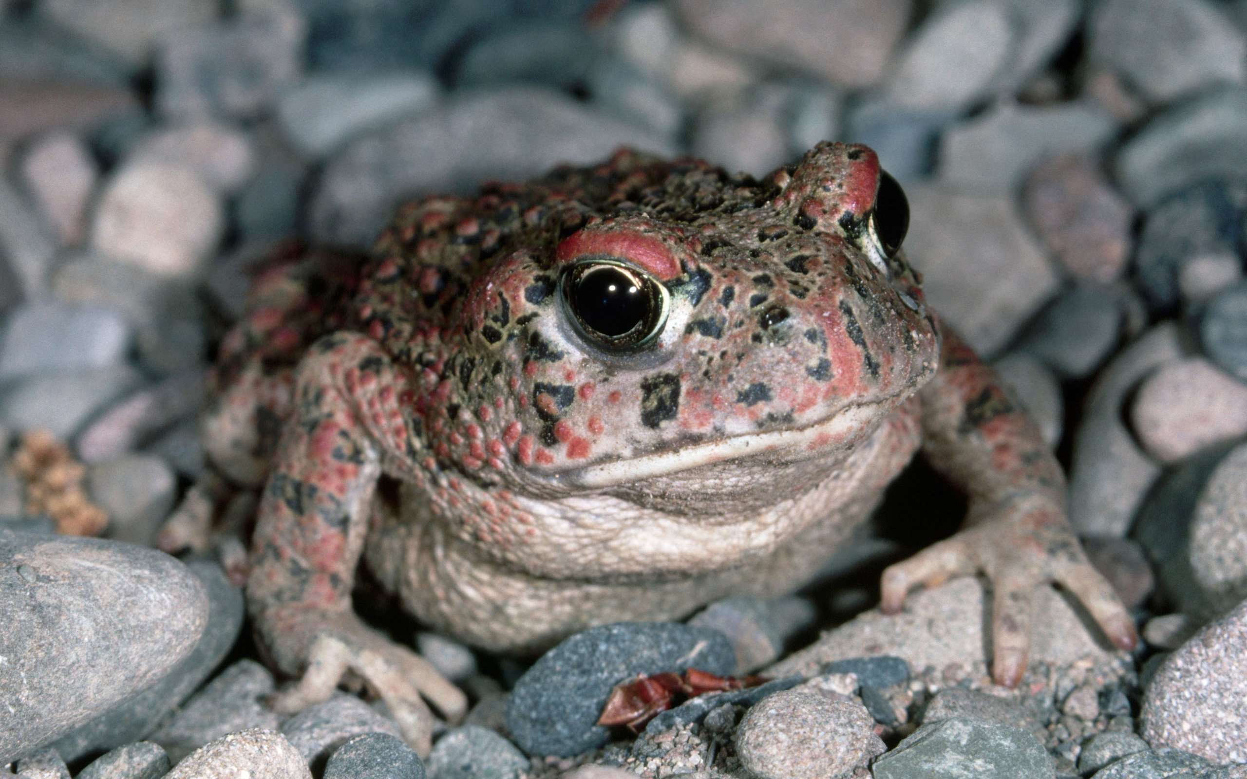 Awesome Toad free wallpaper ID:58467 for hd 2560x1600 PC