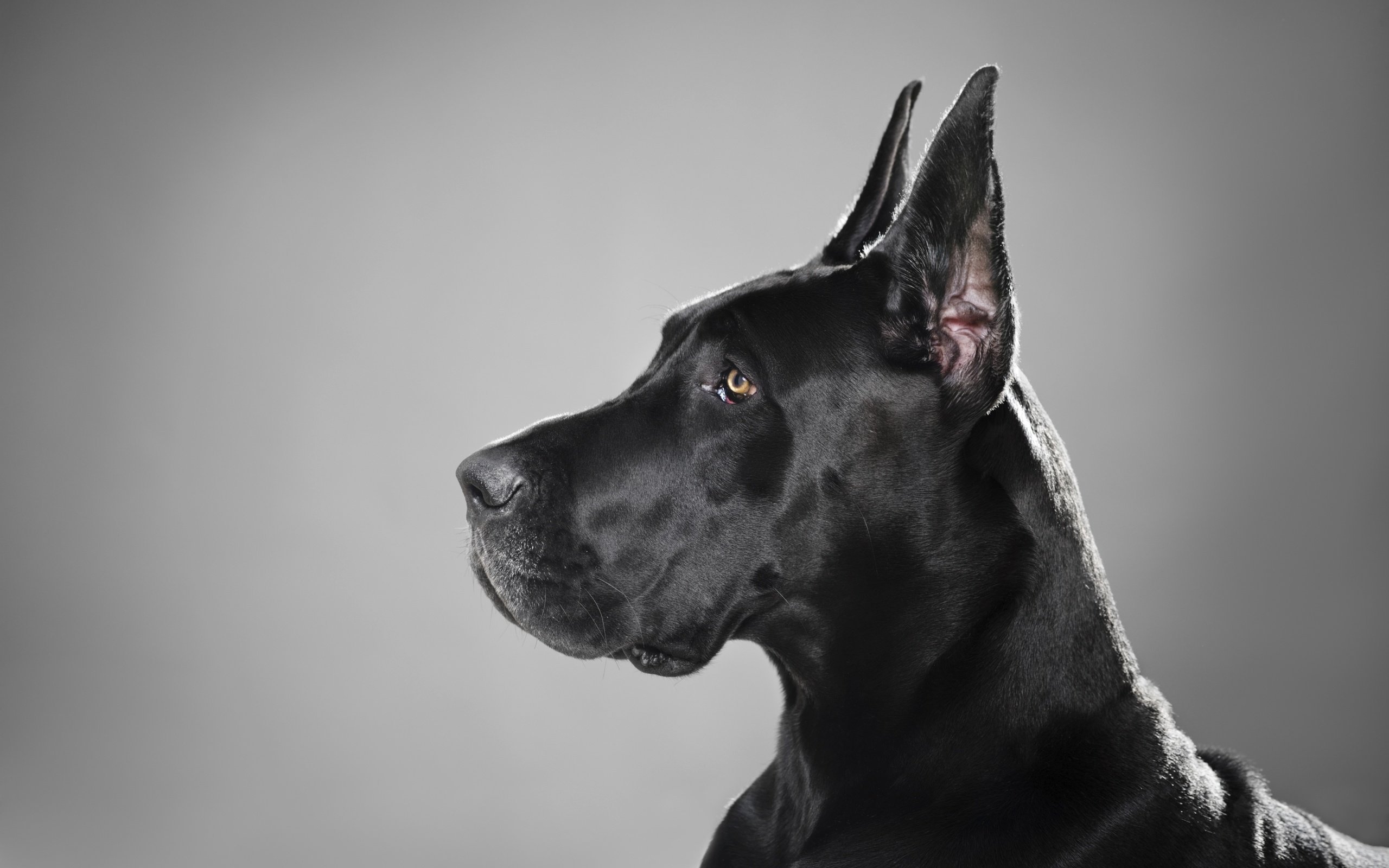 Free download Great Dane background ID:303764 hd 2560x1600 for computer