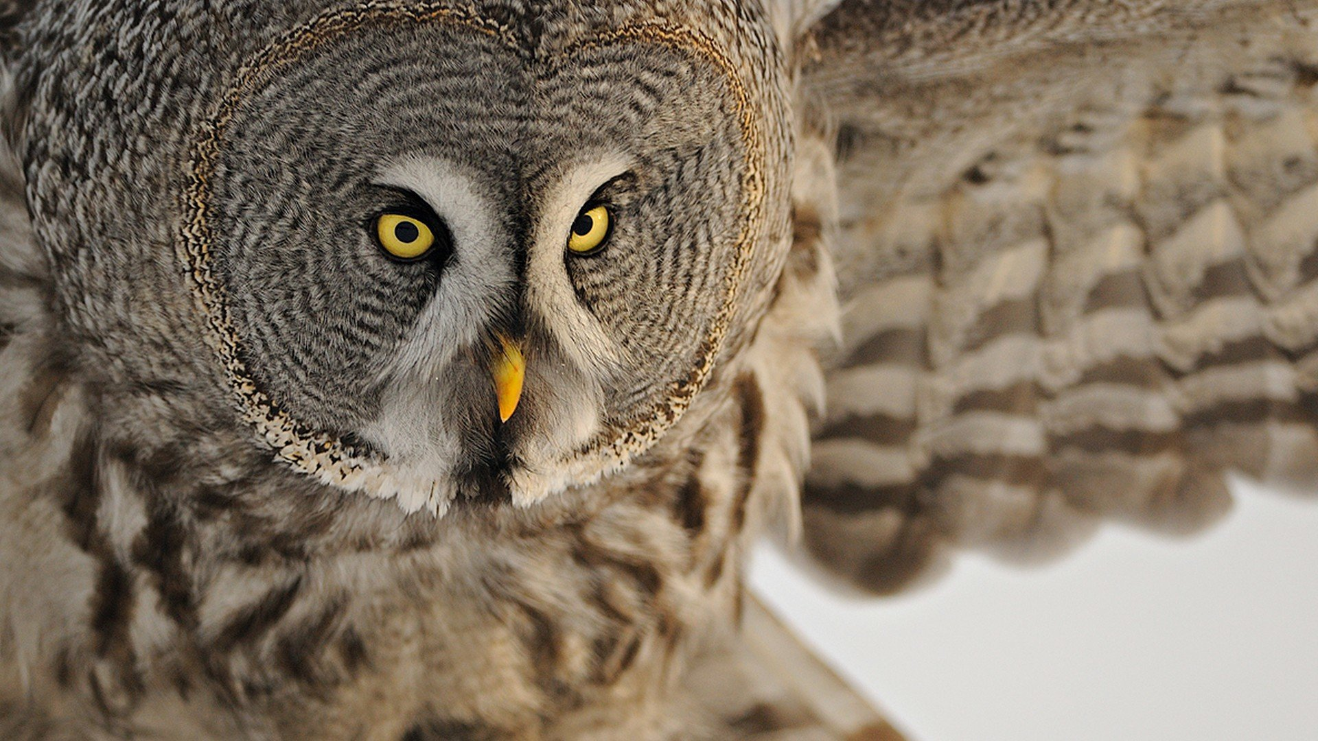 Free Great Grey Owl High Quality Wallpaper Id235118 For