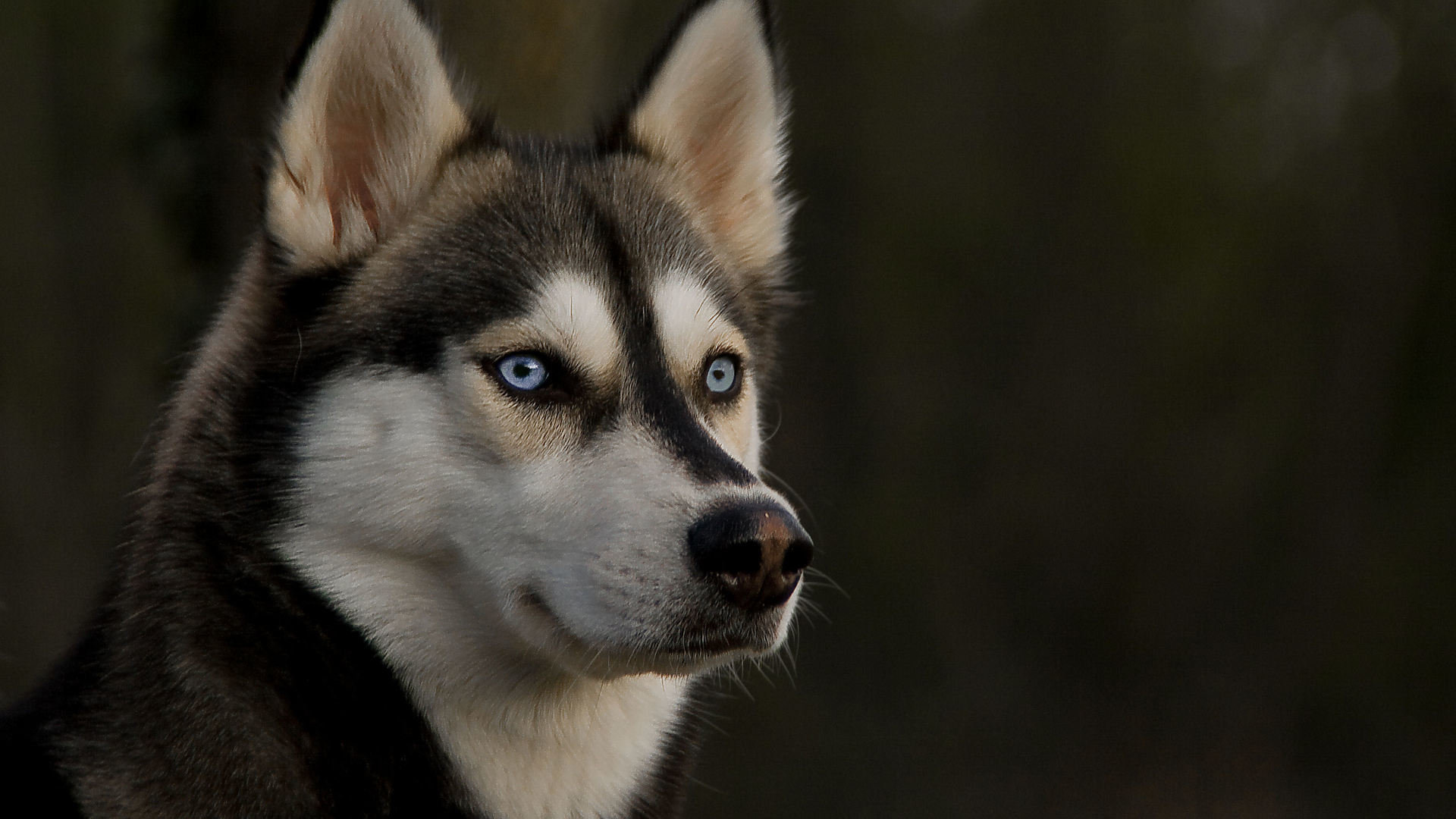 High resolution Husky hd 1080p background ID:198308 for PC