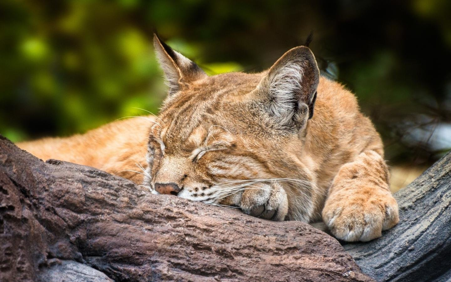 High resolution Lynx hd 1440x900 wallpaper ID:105773 for PC