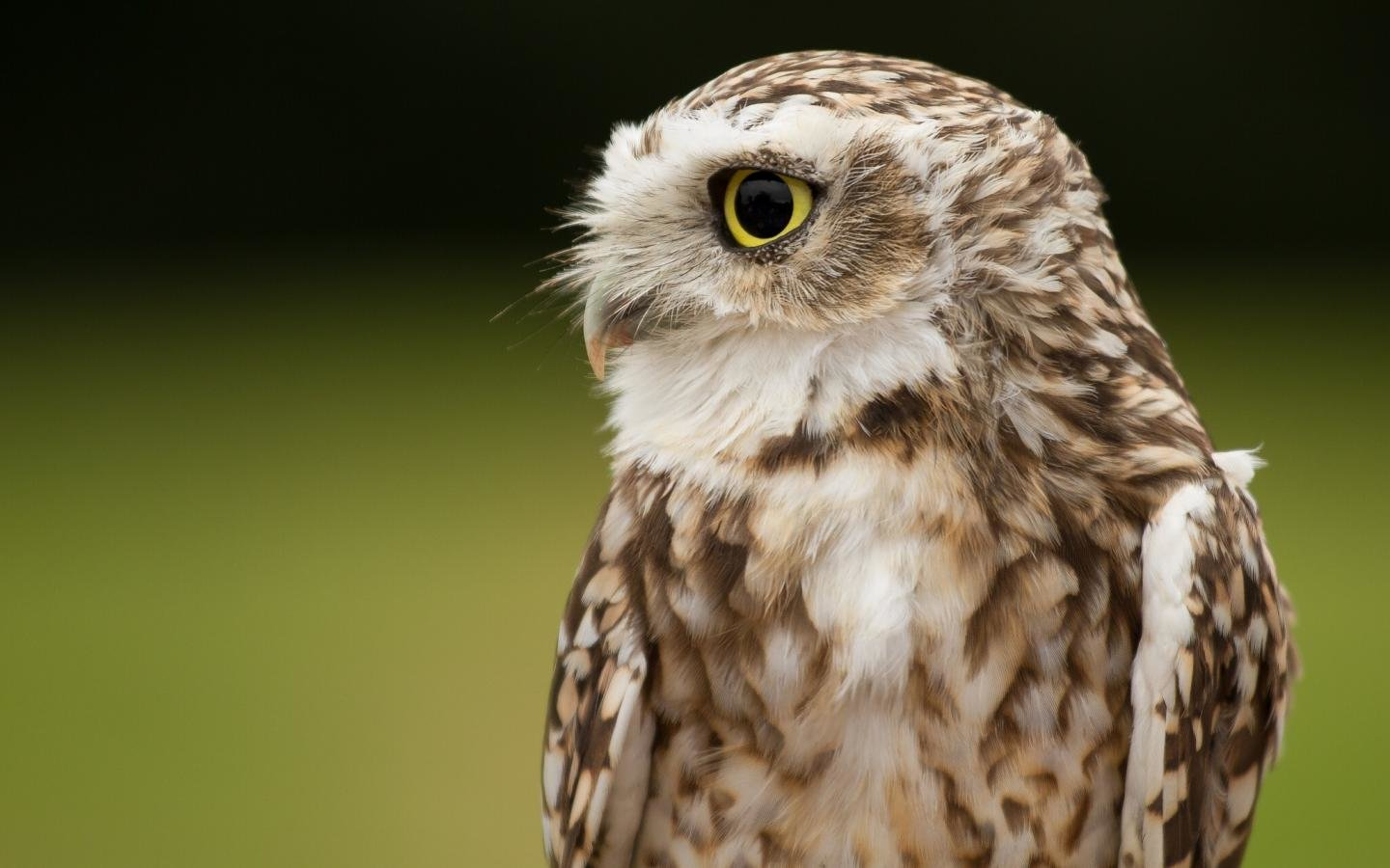 High resolution Owl hd 1440x900 wallpaper ID:237096 for computer