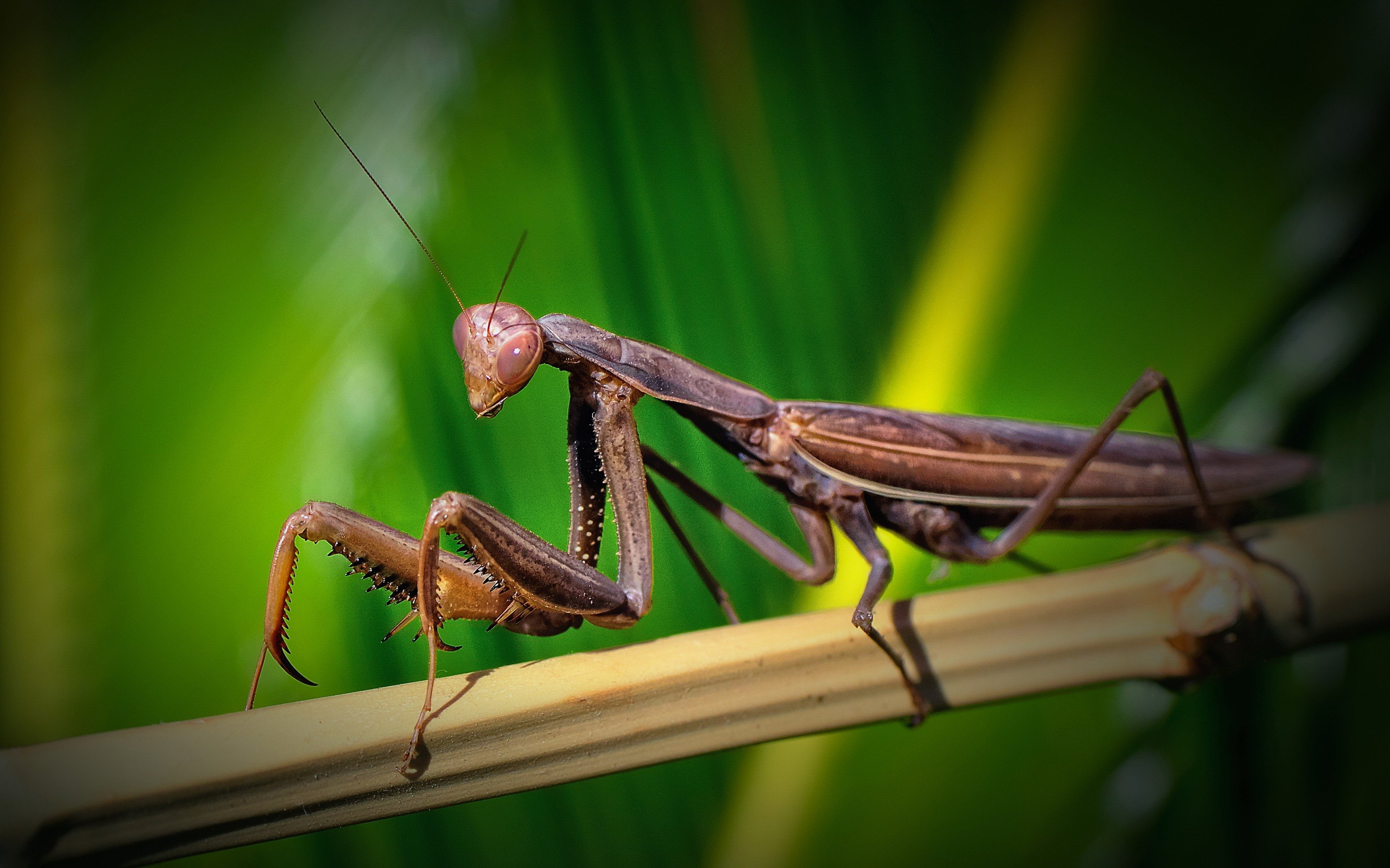 download hd 2880x1800 praying mantis desktop wallpaper id:156413 for