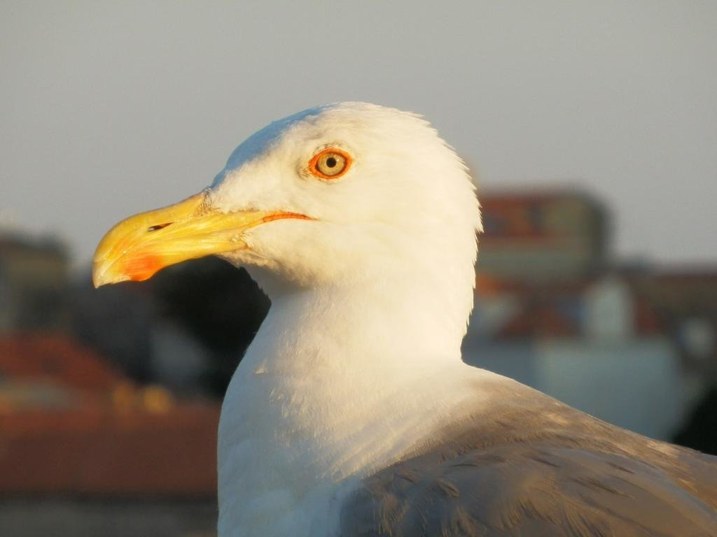 Best Seagull background ID:66849 for High Resolution hd 1024x768 computer