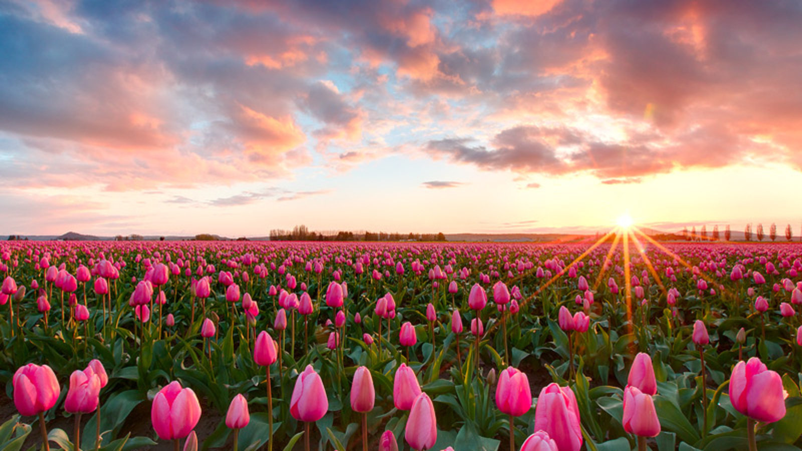 High Resolution Tulip Hd 1600x900 Wallpaper ID:157291 For