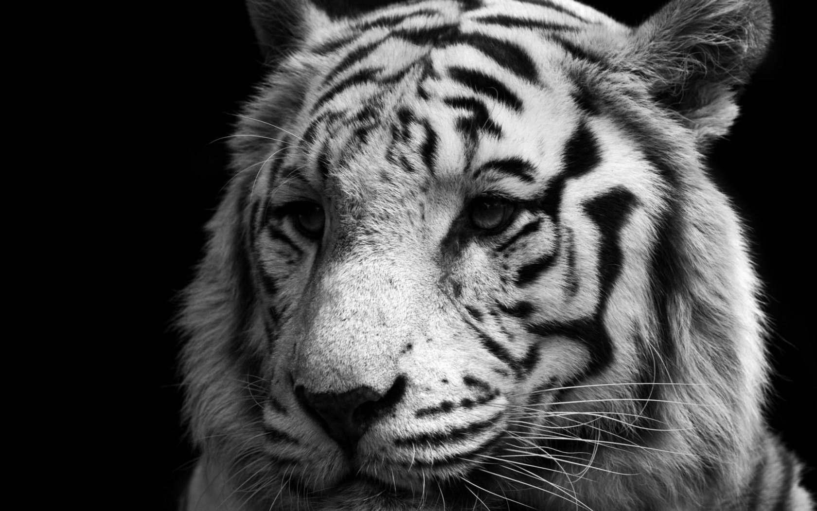 Awesome White Tiger free wallpaper ID:175003 for hd 1680x1050 computer