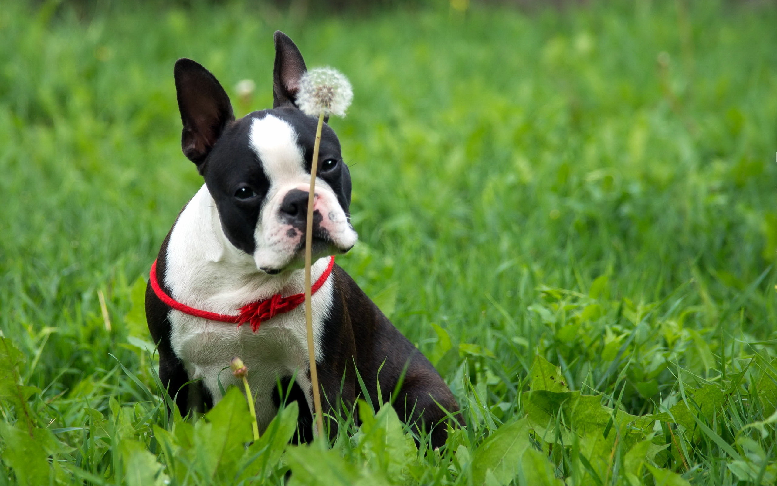 Download hd 2560x1600 Boston Terrier computer wallpaper ID:389390 for free