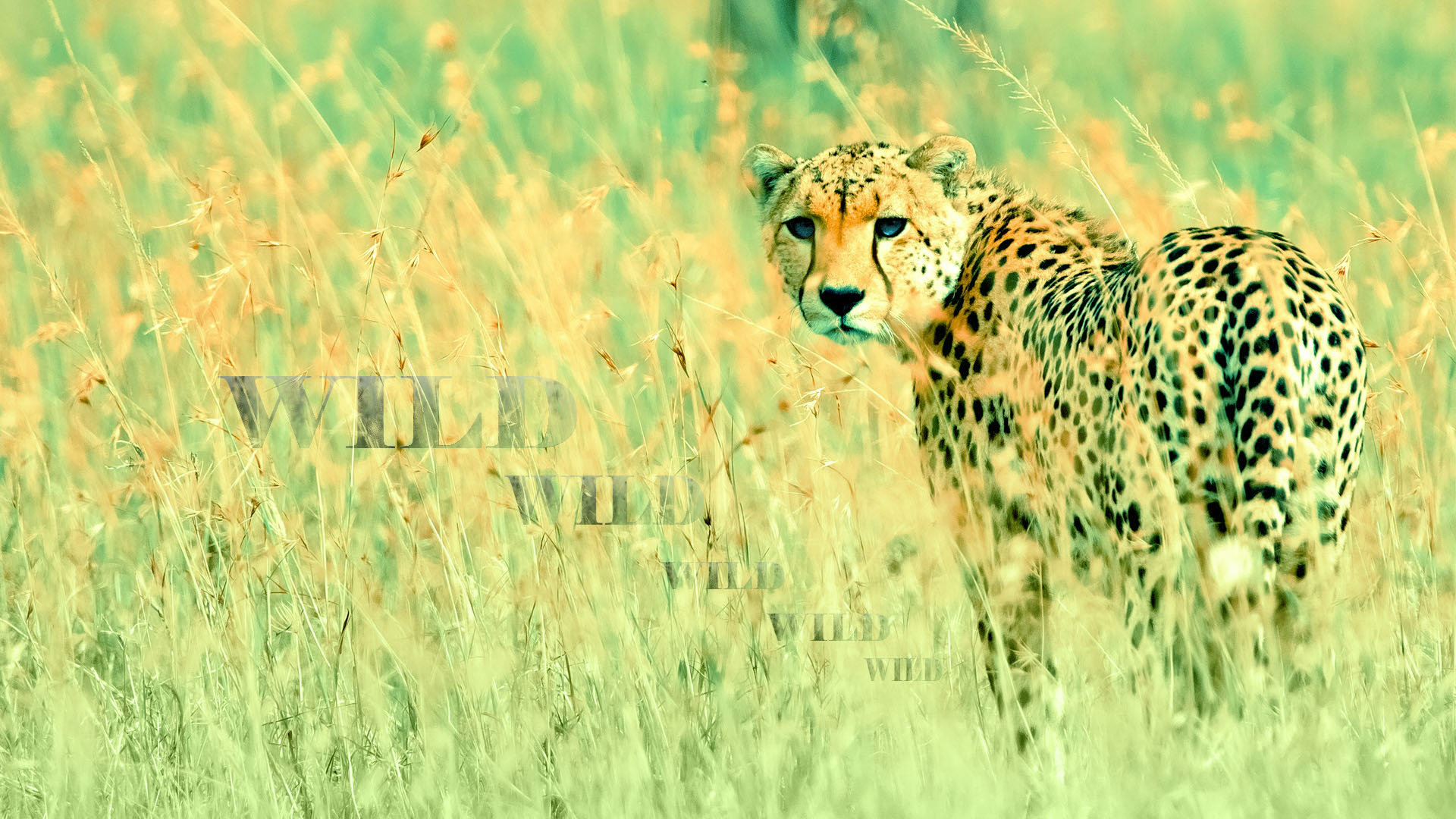 Download full hd 1080p Cheetah PC wallpaper ID:161910 for free