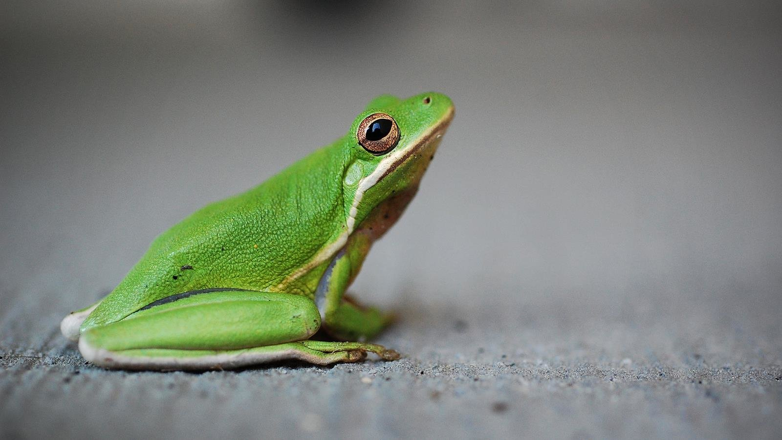 Awesome Frog free background ID:328873 for hd 1600x900 desktop