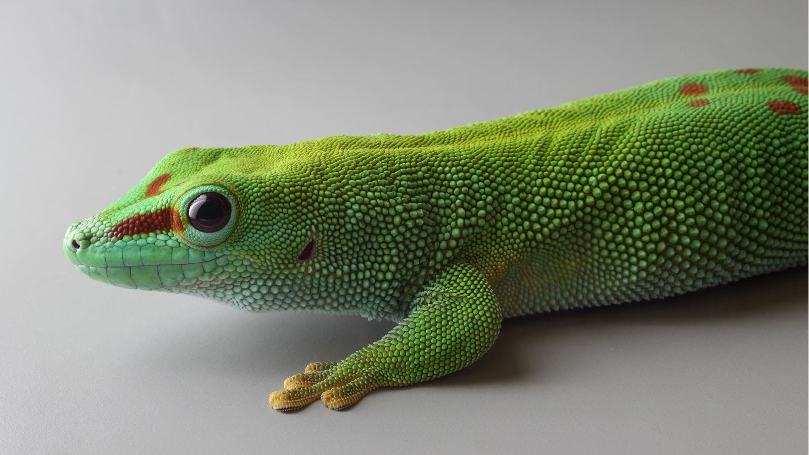Awesome Gecko free wallpaper ID:114519 for hd 1600x900 PC