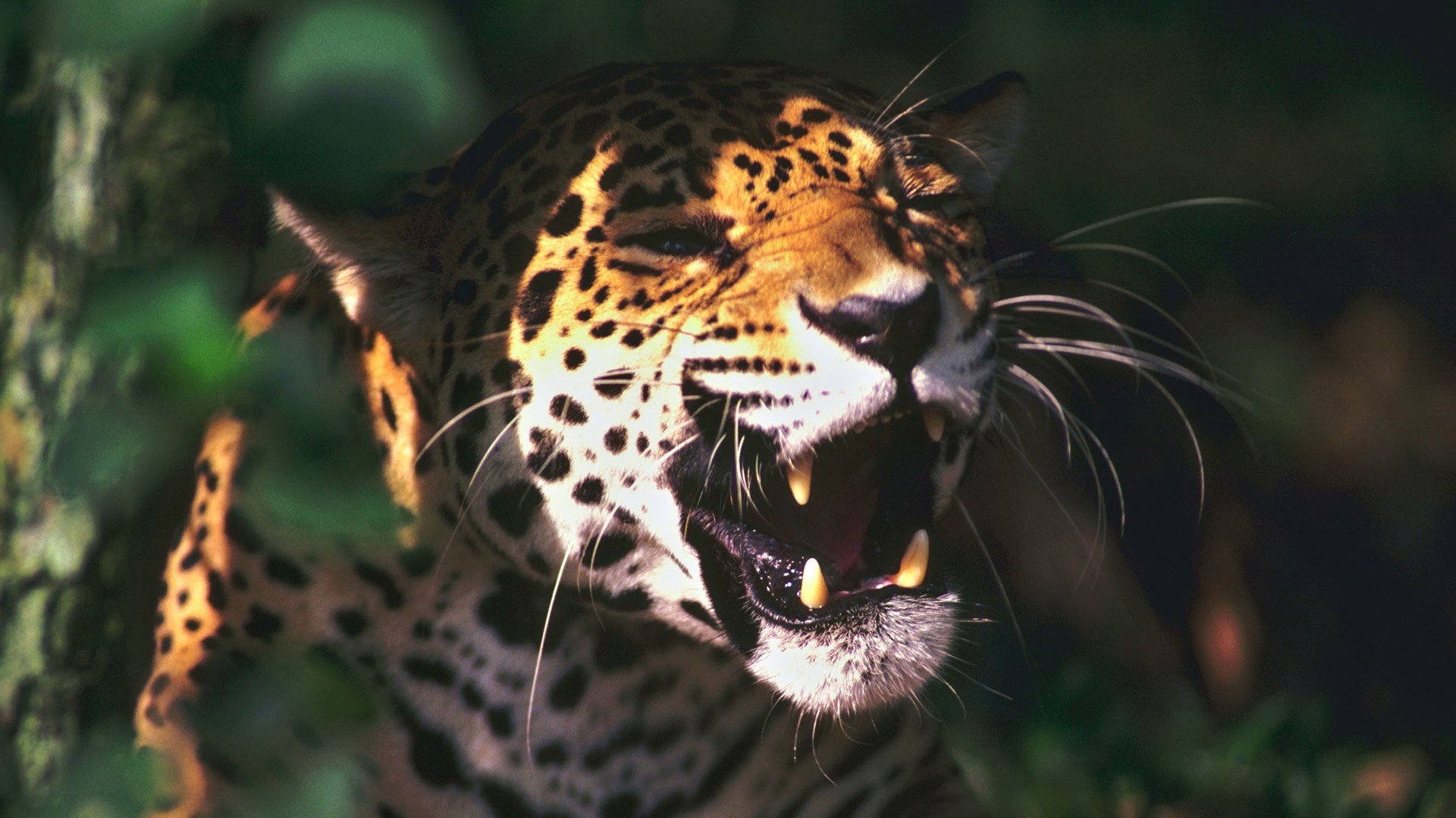 Awesome Jaguar free background ID:30222 for 1080p PC