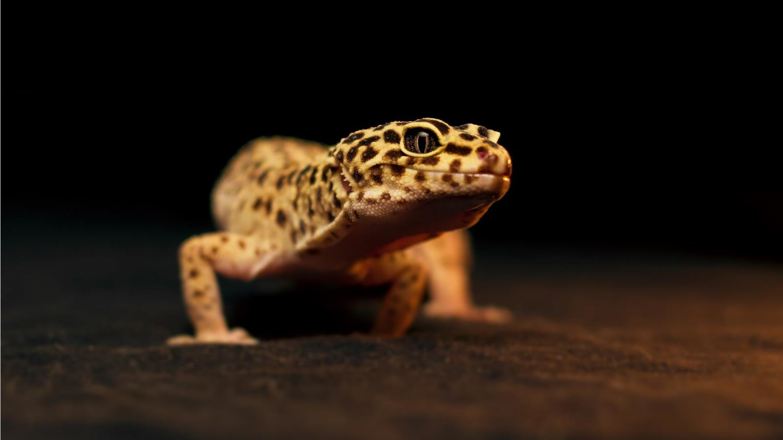 Awesome Leopard Gecko free wallpaper ID:357666 for hd 1600x900 computer