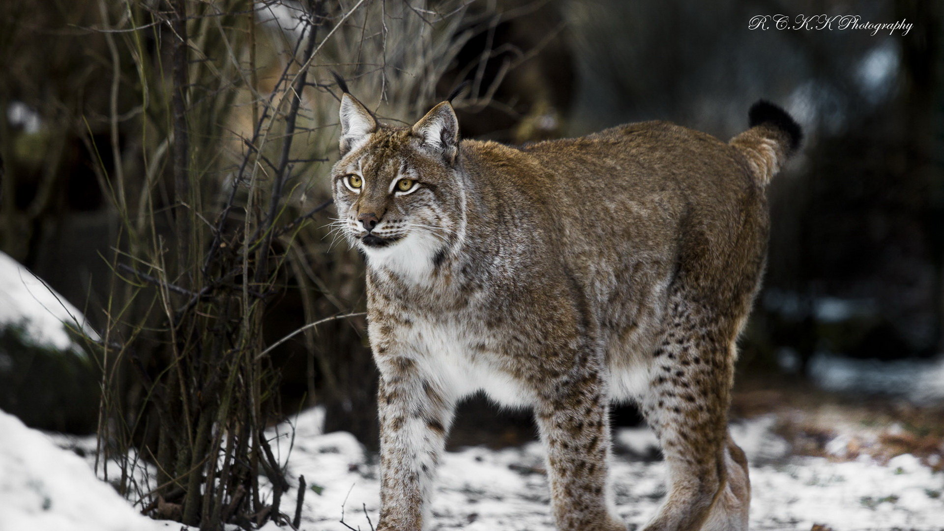 Best Lynx background ID:105711 for High Resolution full hd computer