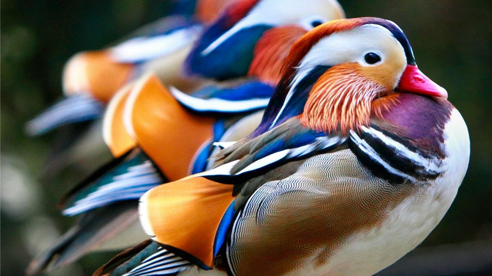 Best Mandarin Duck background ID:100784 for High Resolution hd 1600x900 desktop