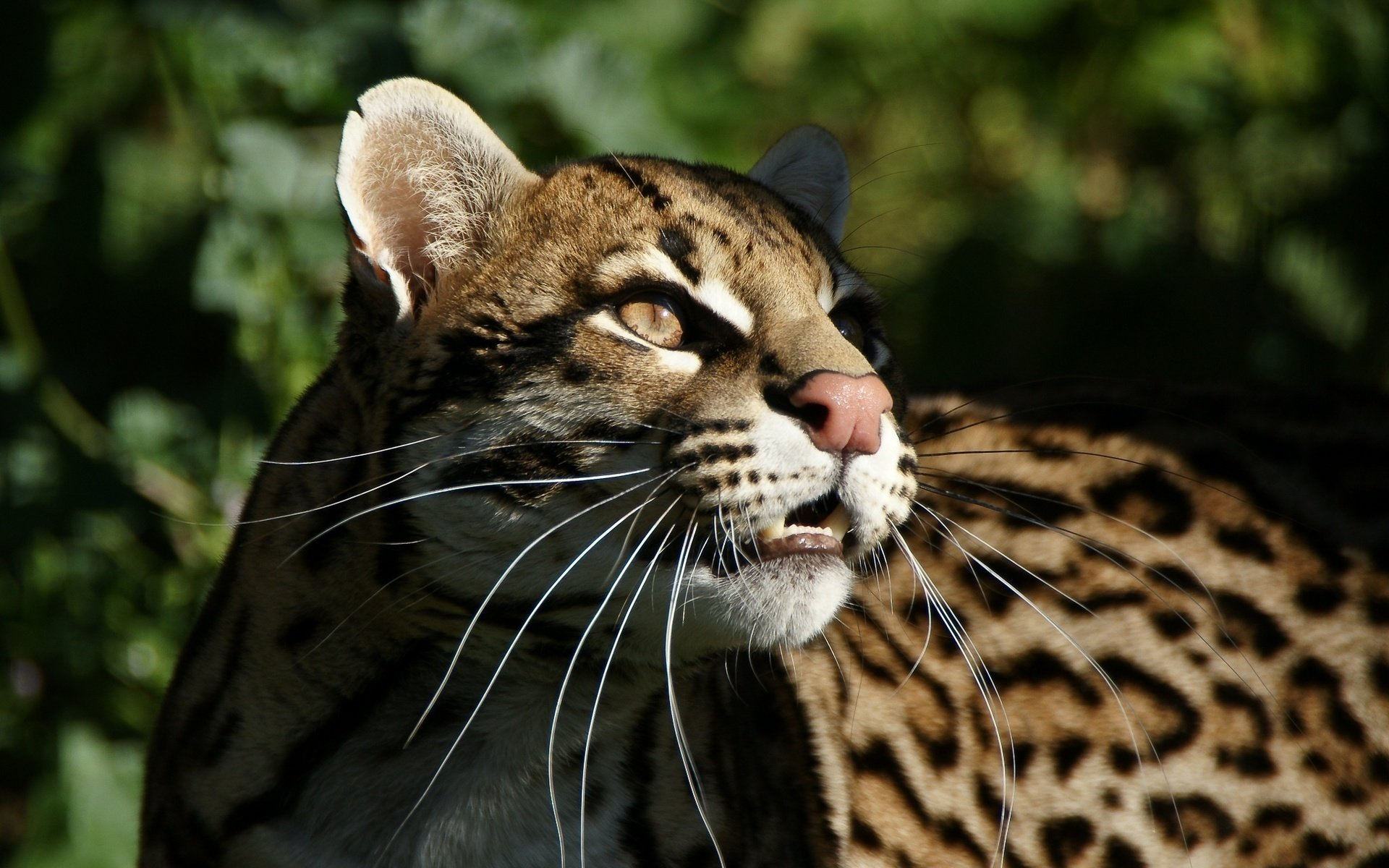High resolution Ocelot hd 1920x1200 wallpaper ID:146298 for desktop