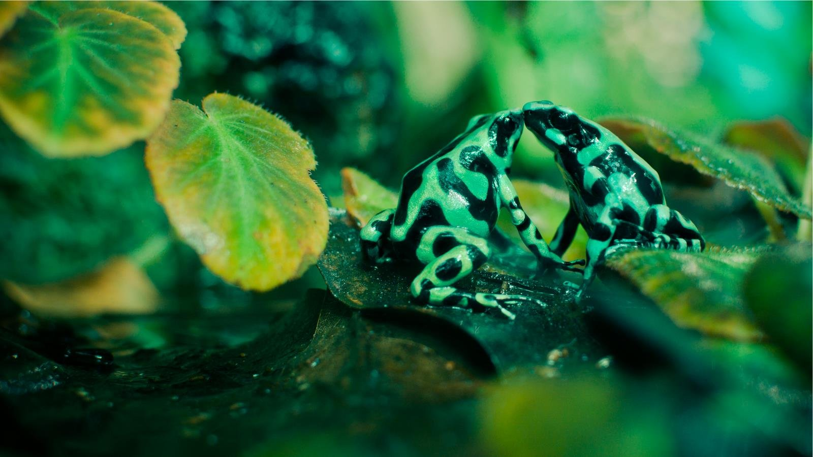 Download hd 1600x900 Poison Dart Frog desktop wallpaper ID:253499 for free
