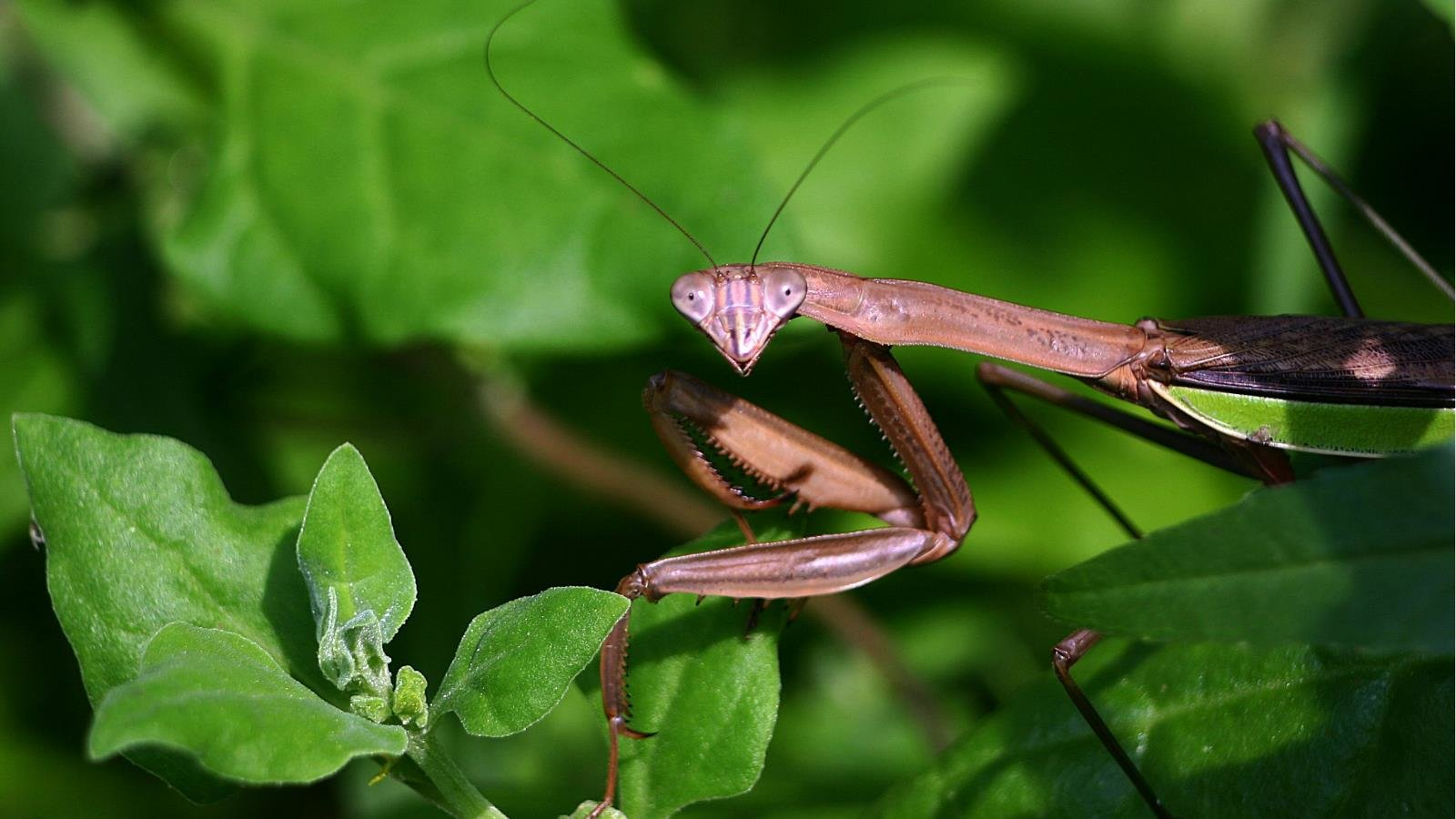 Free Praying Mantis high quality background ID:156428 for hd 1600x900 PC