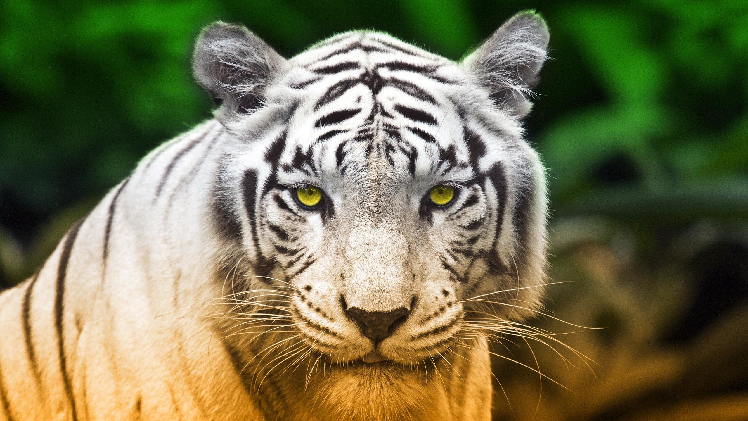 Download hd 2560x1440 White Tiger desktop wallpaper ID:174847 for free