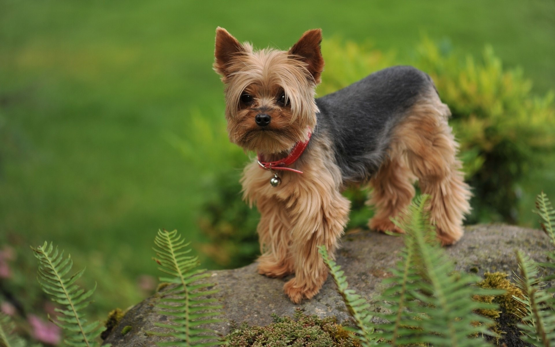 Awesome Yorkshire Terrier free background ID:110978 for hd 1920x1200 PC