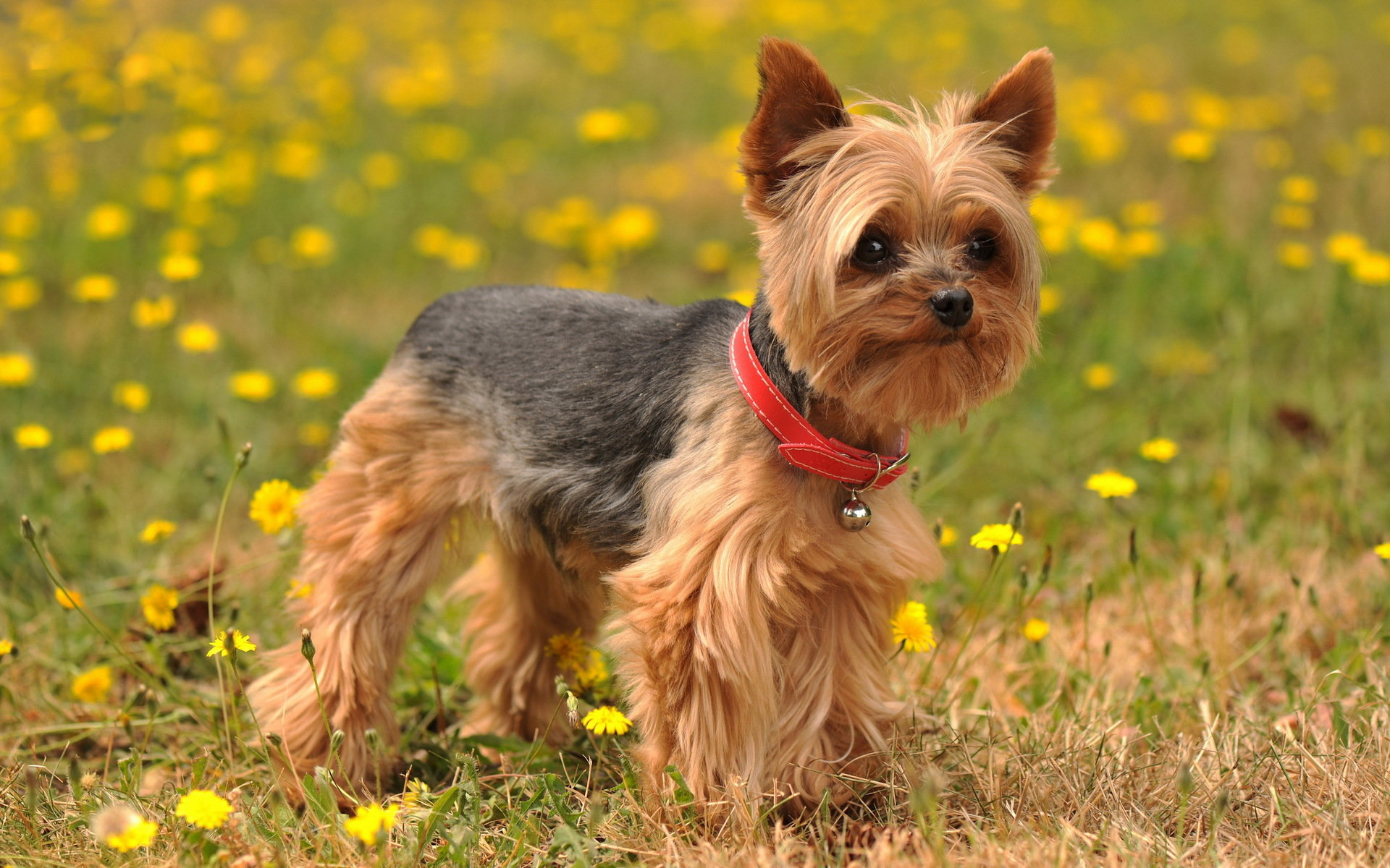 Download hd 1920x1200 Yorkshire Terrier computer background ID:110979 for free