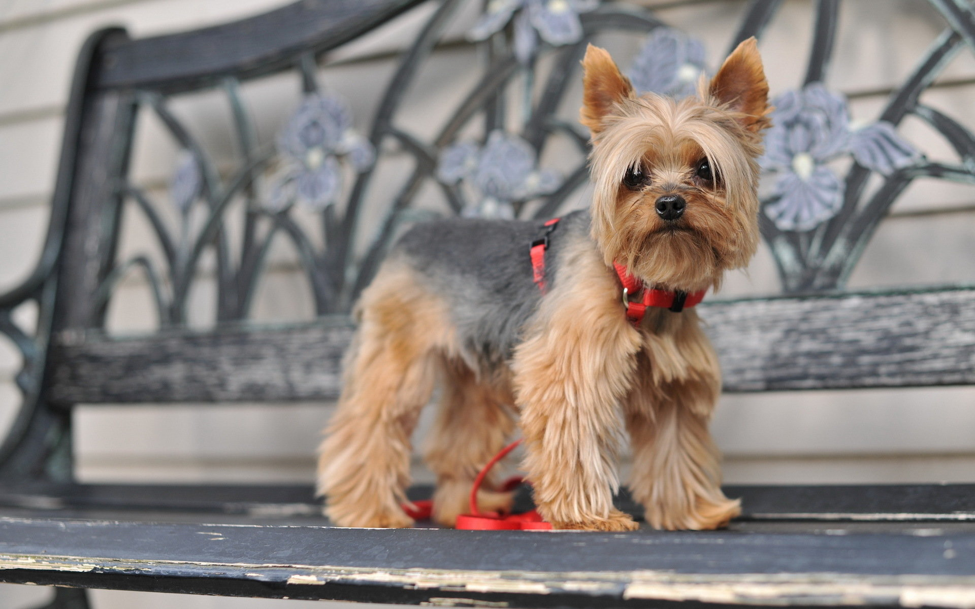 High resolution Yorkshire Terrier hd 1920x1200 wallpaper ID:110982 for computer