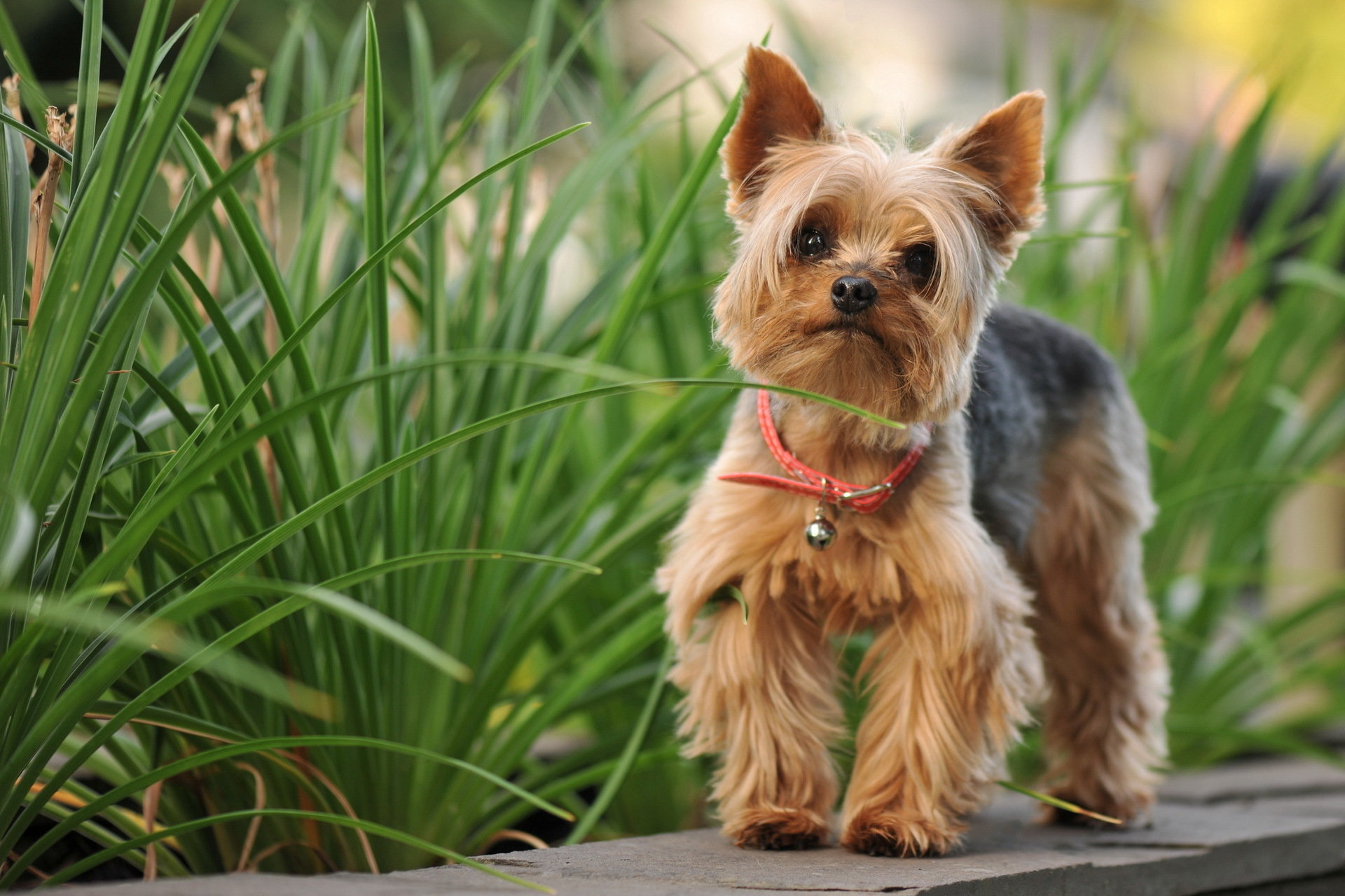 Free download Yorkshire Terrier wallpaper ID:110980 hd 1920x1280 for computer