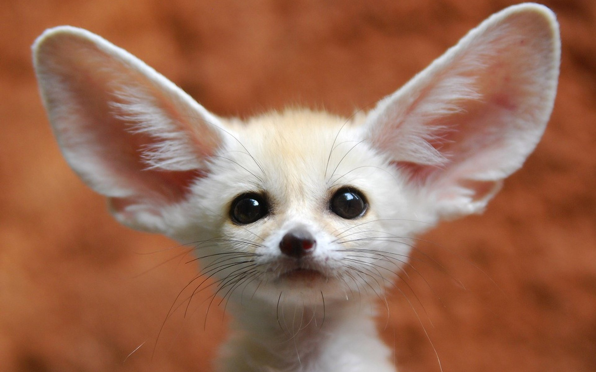 High resolution Fennec Fox hd 1920x1200 background ID:137654 for desktop