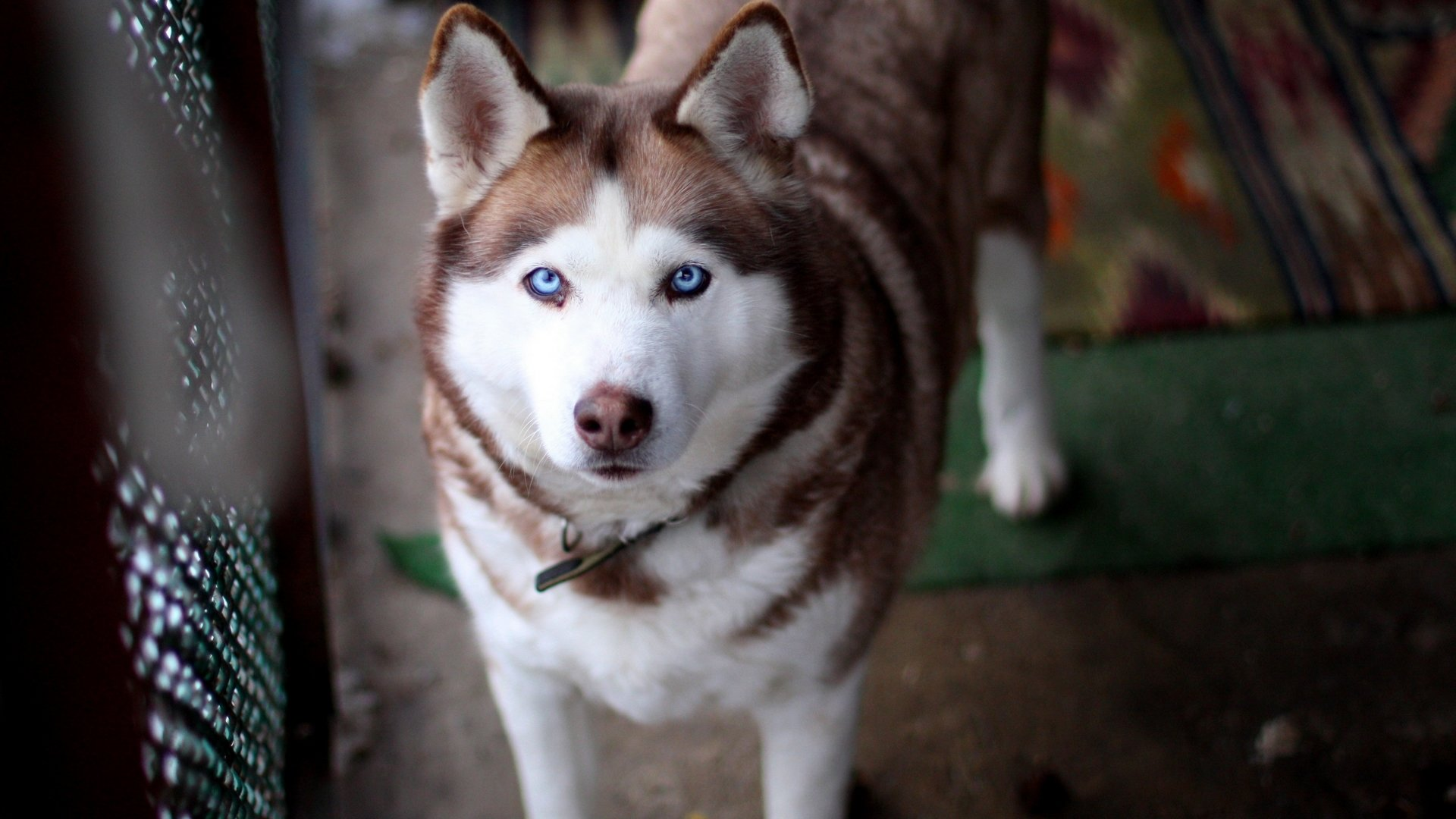 Free Husky high quality wallpaper ID:198348 for full hd 1080p desktop