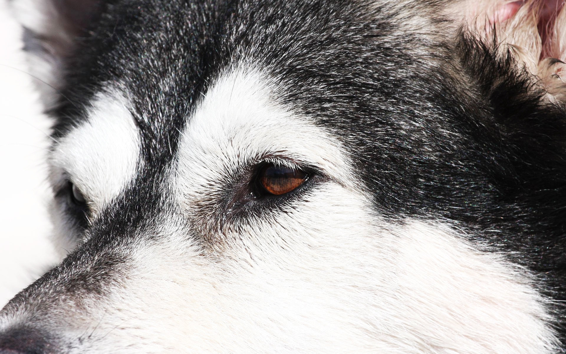 Free Husky high quality wallpaper ID:198386 for hd 1920x1200 PC