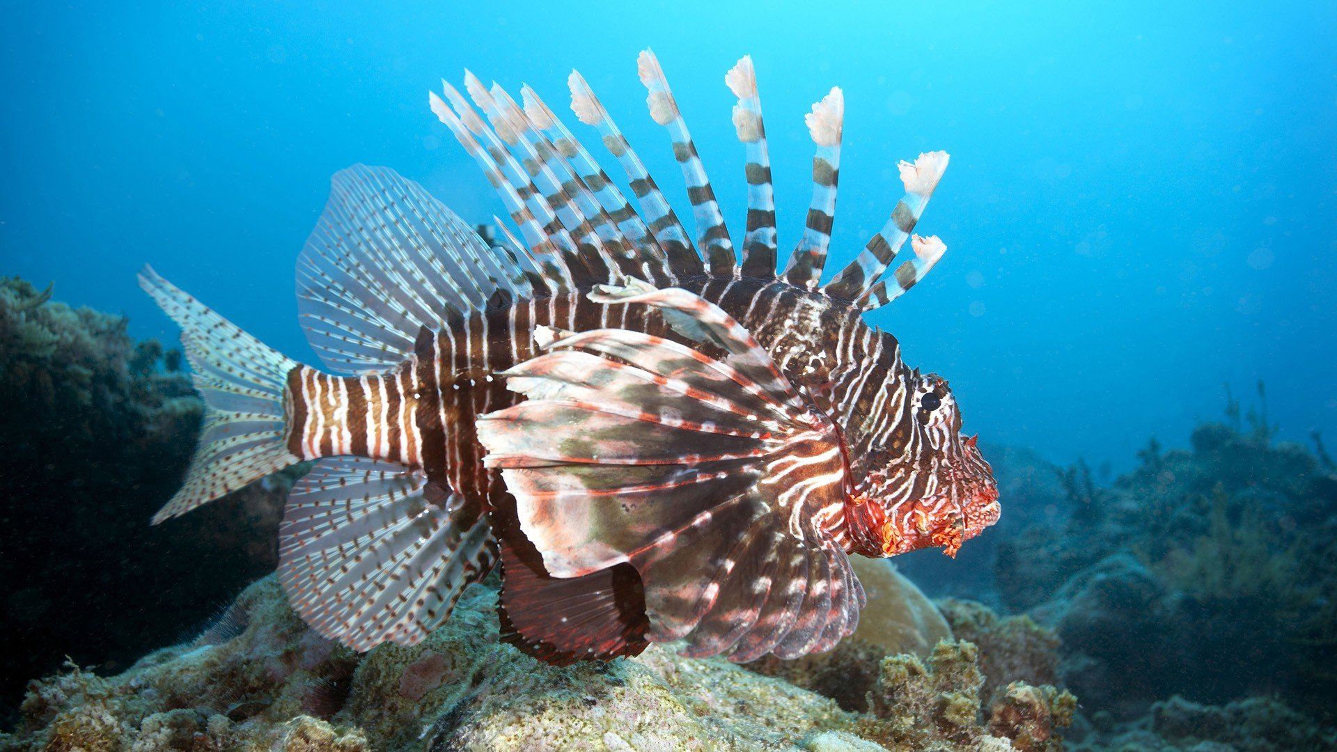 Awesome Lionfish free wallpaper ID:438242 for full hd 1080p computer