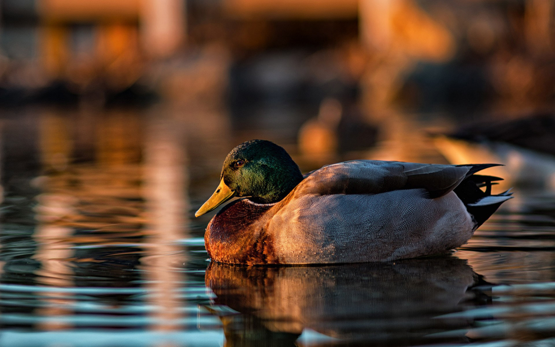 High resolution Mallard hd 1920x1200 wallpaper ID:358214 for PC