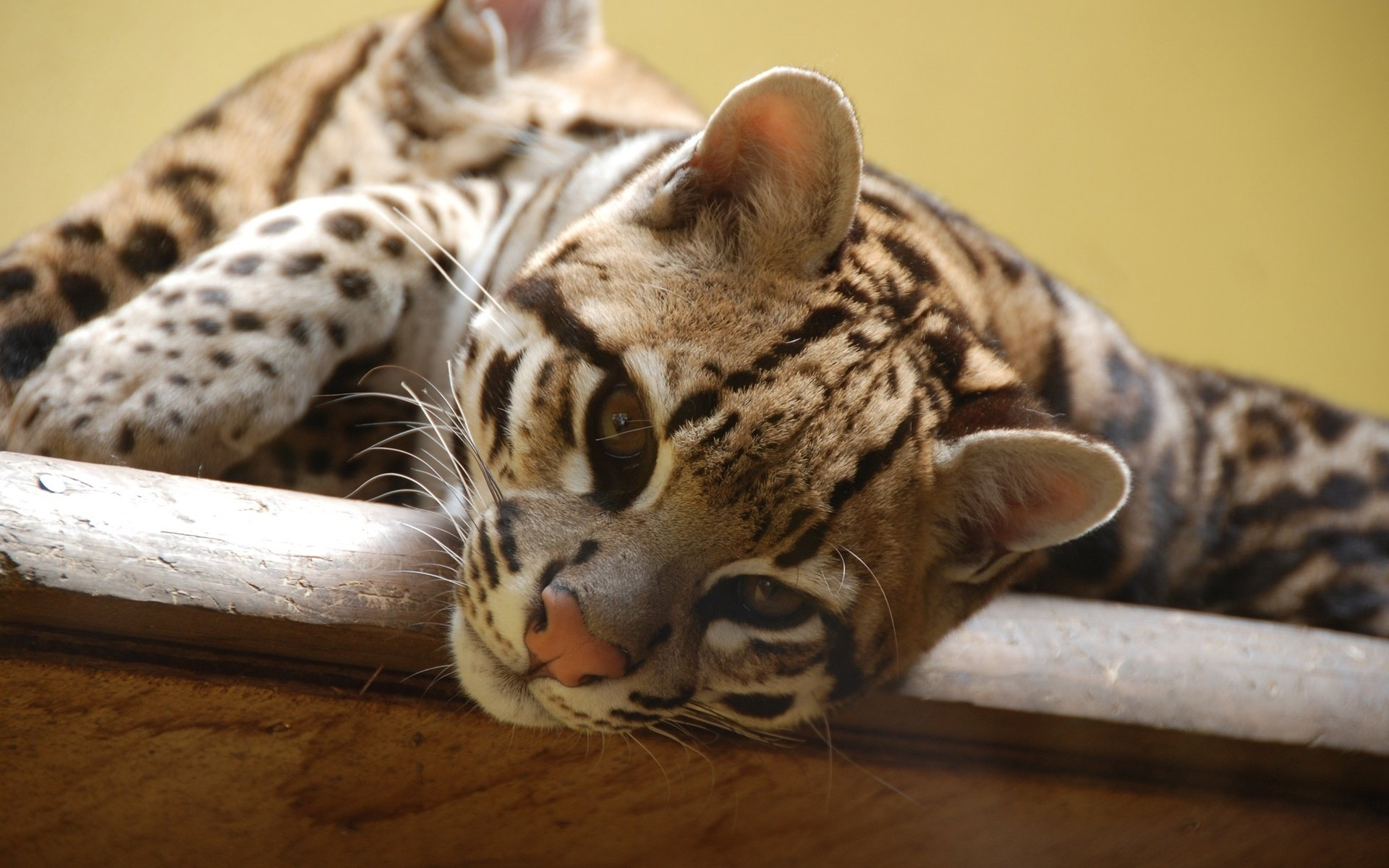 High resolution Ocelot hd 1920x1200 background ID:146297 for desktop