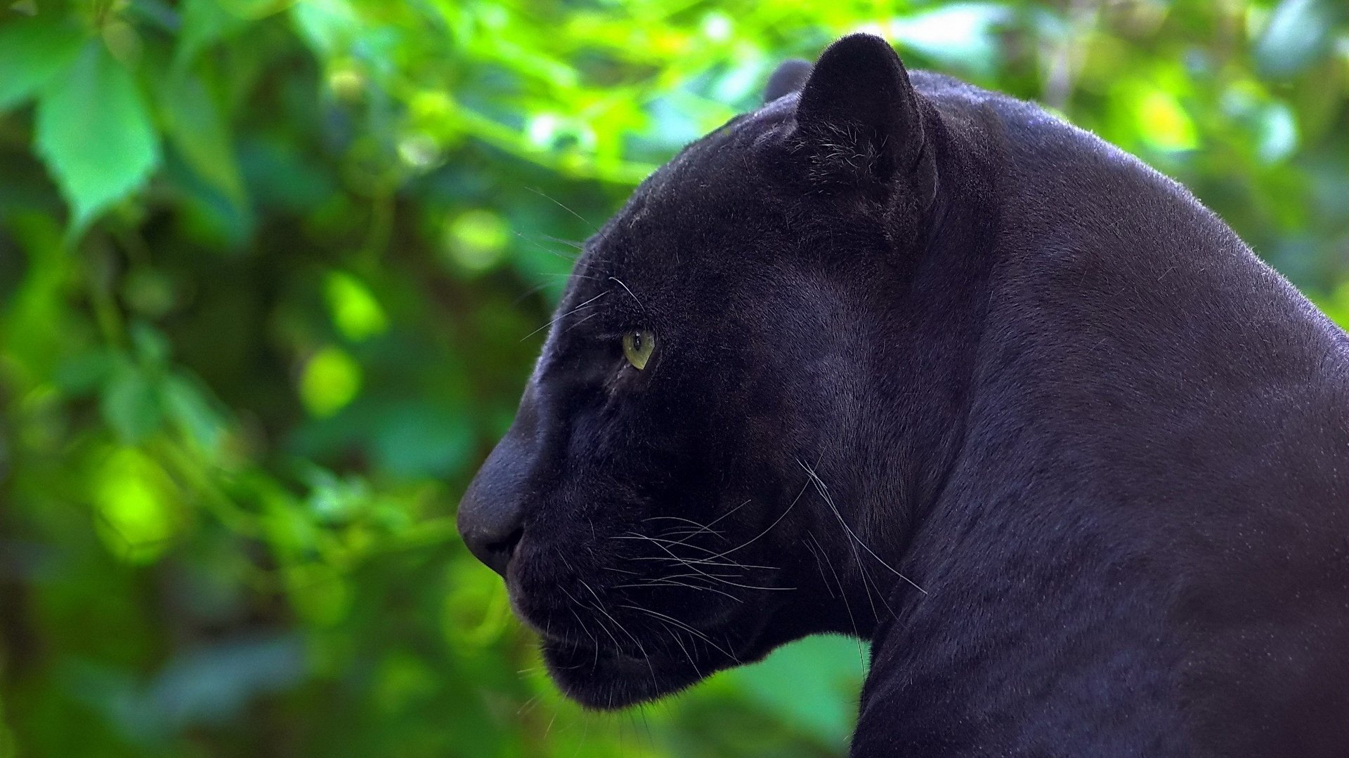 High resolution Panther full hd wallpaper ID:357119 for PC