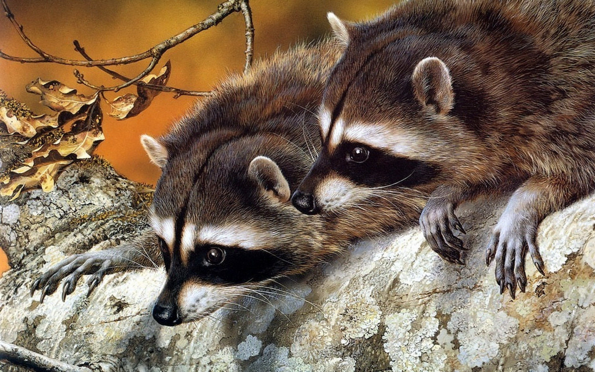 Free Raccoon high quality background ID:185448 for hd 1920x1200 computer