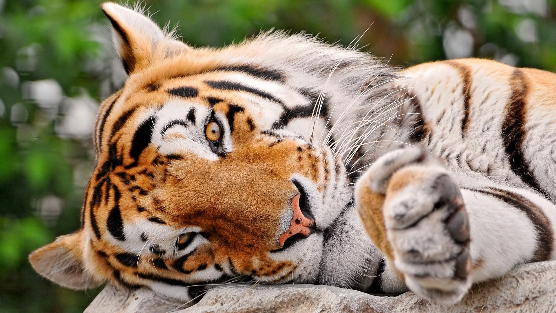 Awesome Tiger free wallpaper ID:115741 for hd 1920x1080 PC