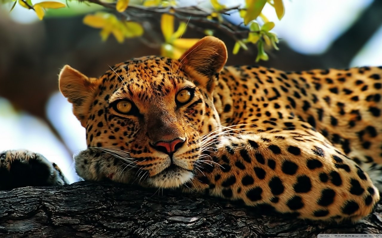 Free Leopard high quality background ID:448290 for hd 1280x800 computer