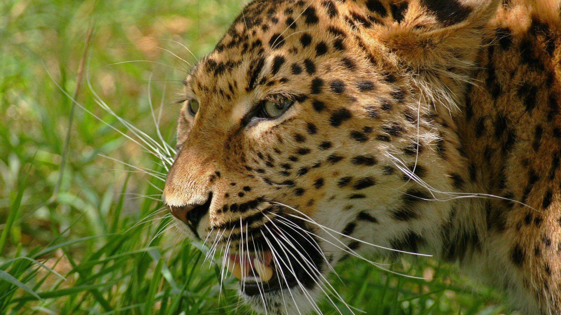 Free download Leopard wallpaper ID:448105 hd 1920x1080 for PC