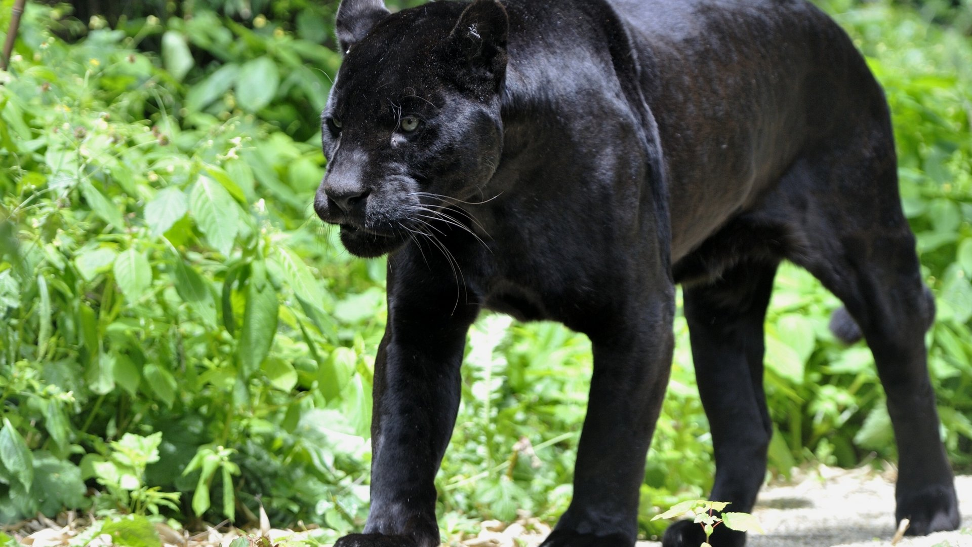 Free download Panther wallpaper ID:357151 full hd 1920x1080 for desktop