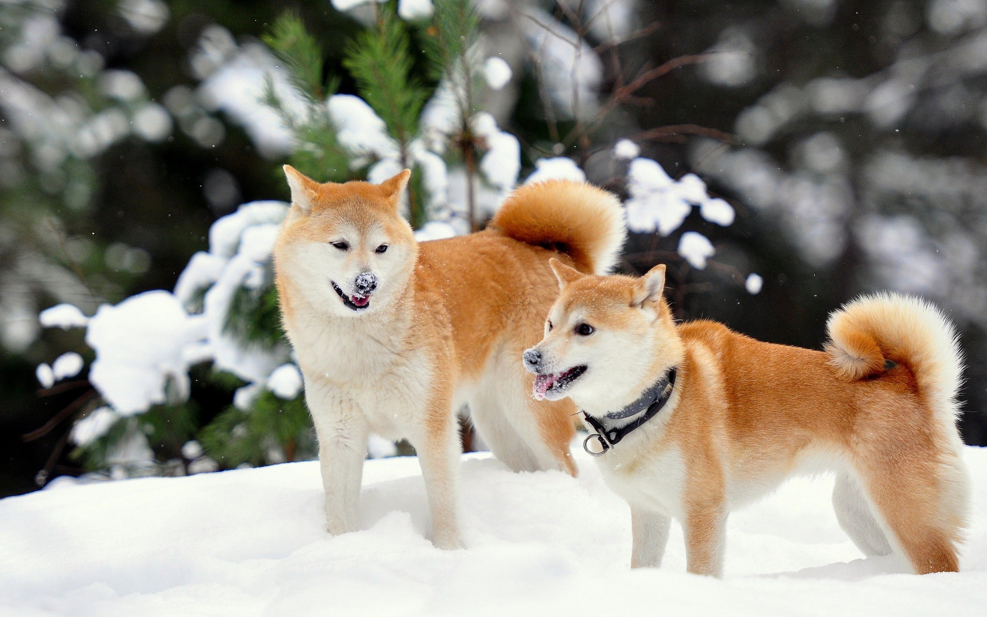 Free download Shiba Inu wallpaper ID:125934 hd 1920x1200 for computer