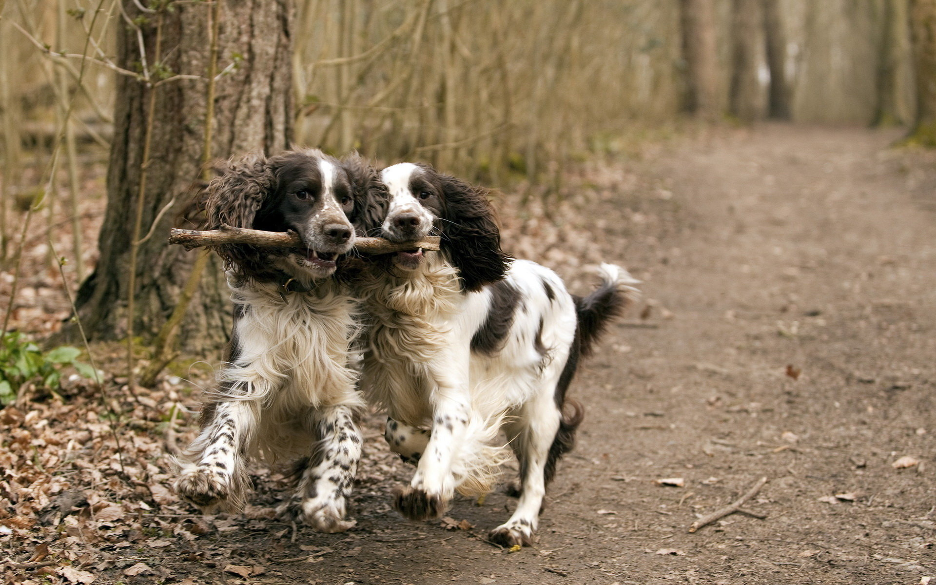 Free download Spaniel wallpaper ID:186013 hd 1920x1200 for PC