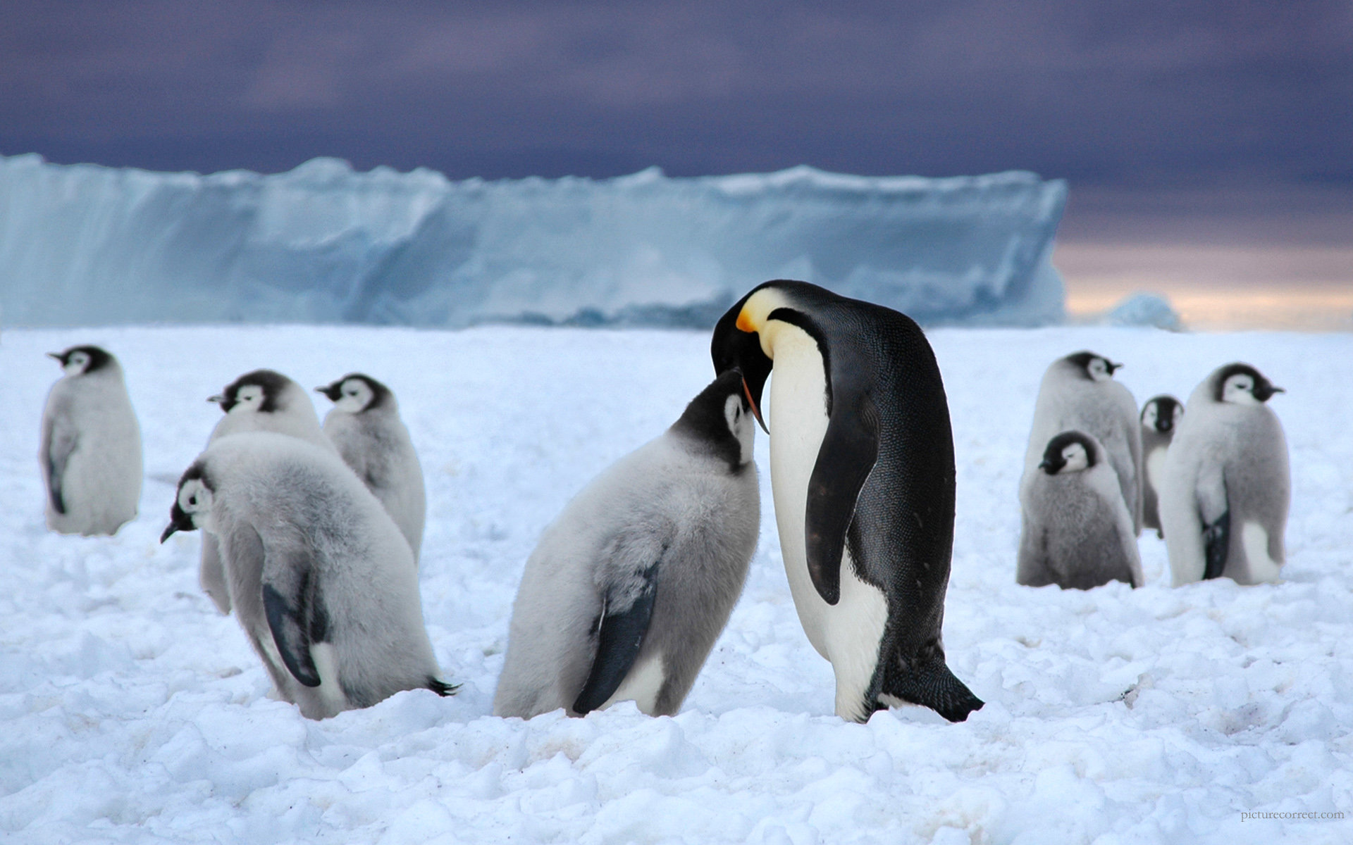 Download hd 1920x1200 Emperor Penguin computer background ID:47926 for free