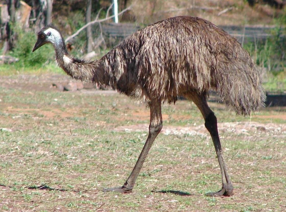 Awesome Emu free background ID:391637 for hd 1120x832 desktop