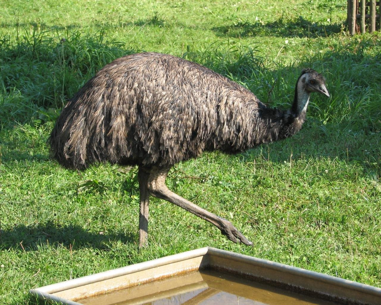 Free Emu high quality background ID:391638 for hd 1280x1024 PC
