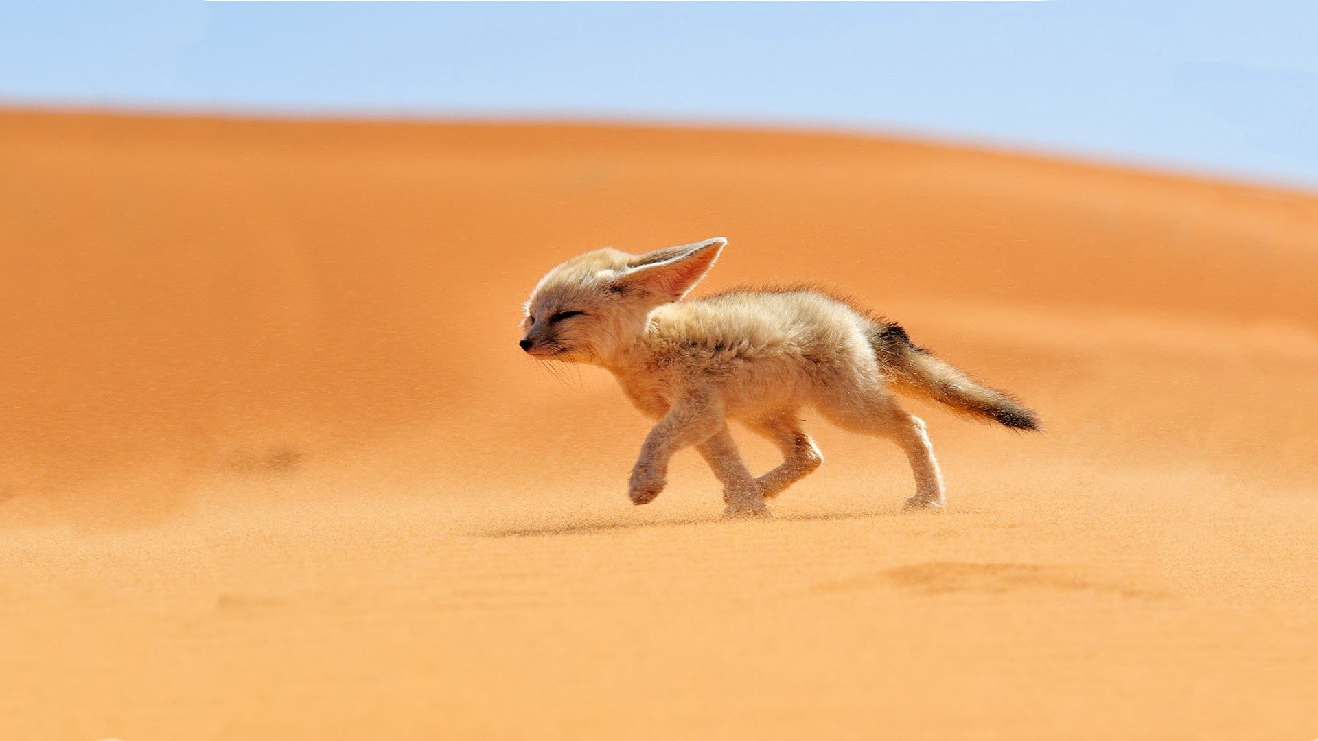 Free download Fennec Fox background ID:137659 full hd 1080p for computer
