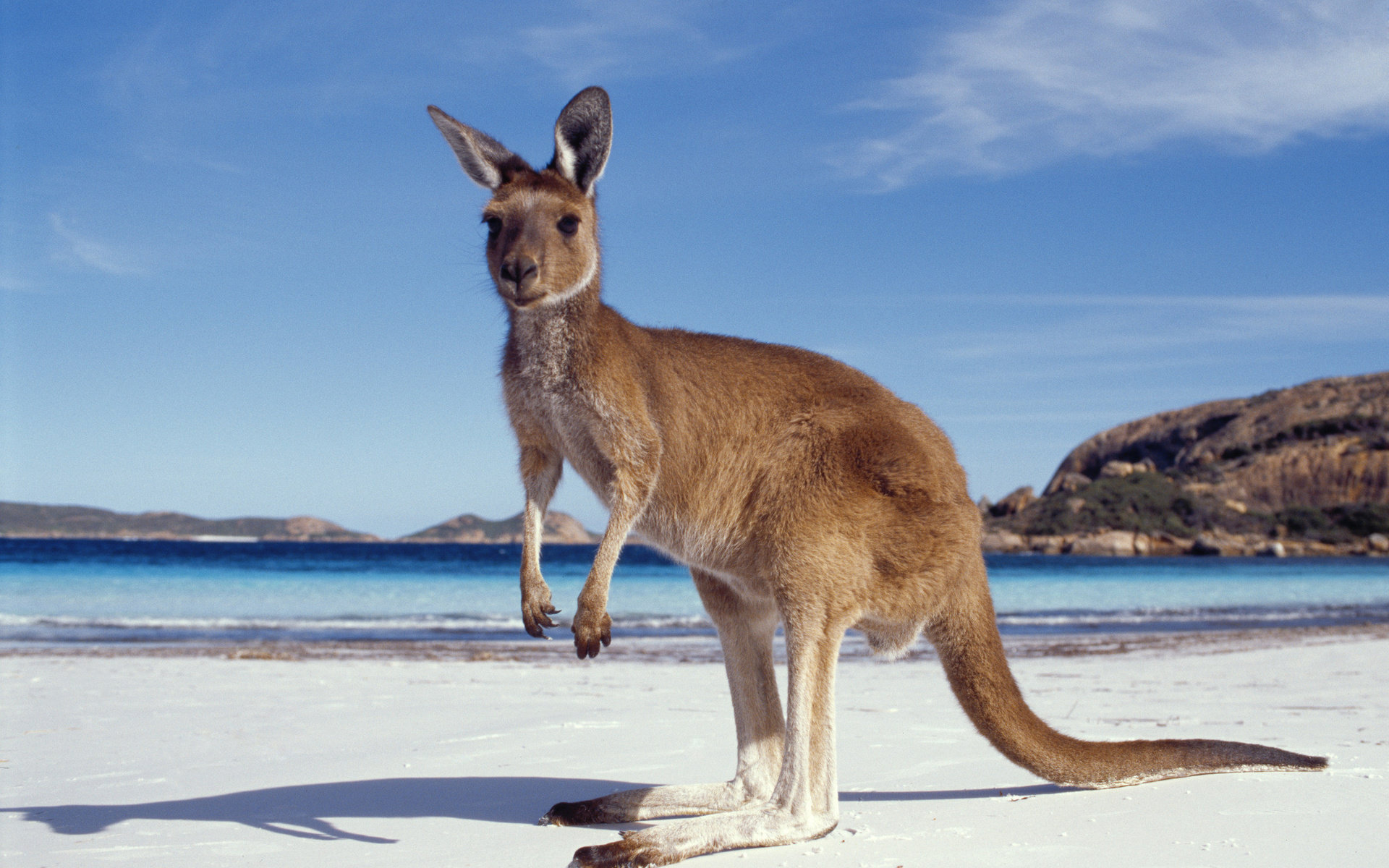 Download hd 1920x1200 Kangaroo computer wallpaper ID:122481 for free