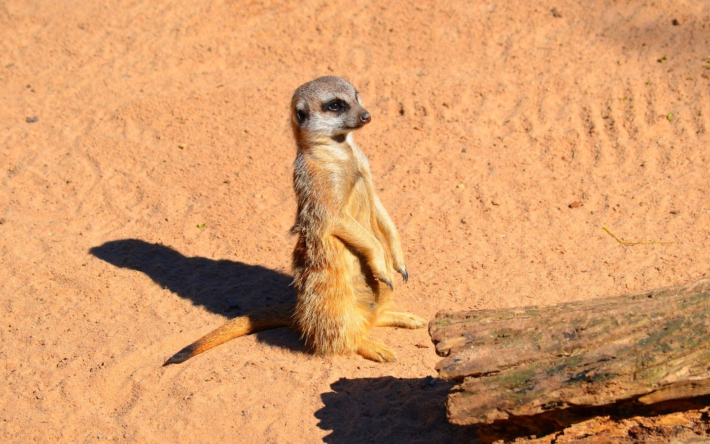 Free Meerkat high quality background ID:164568 for hd 1440x900 computer
