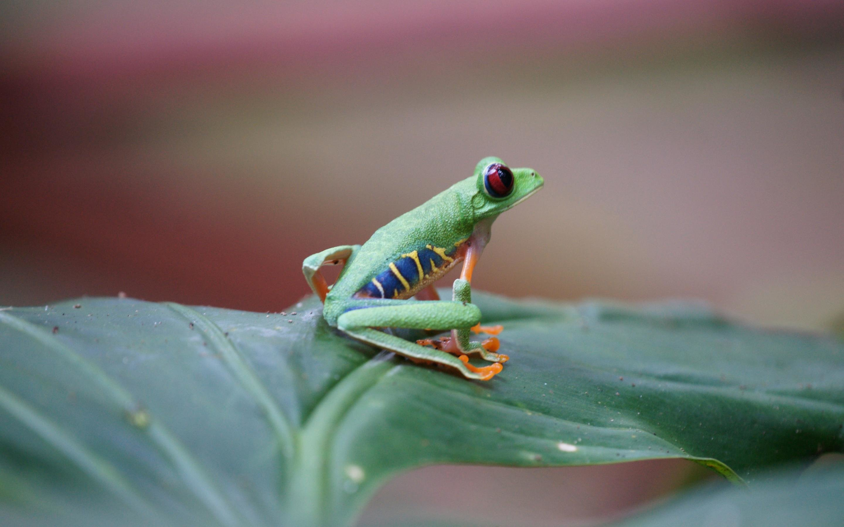 Awesome Red Eyed Tree Frog free background ID:20216 for hd 2880x1800 PC