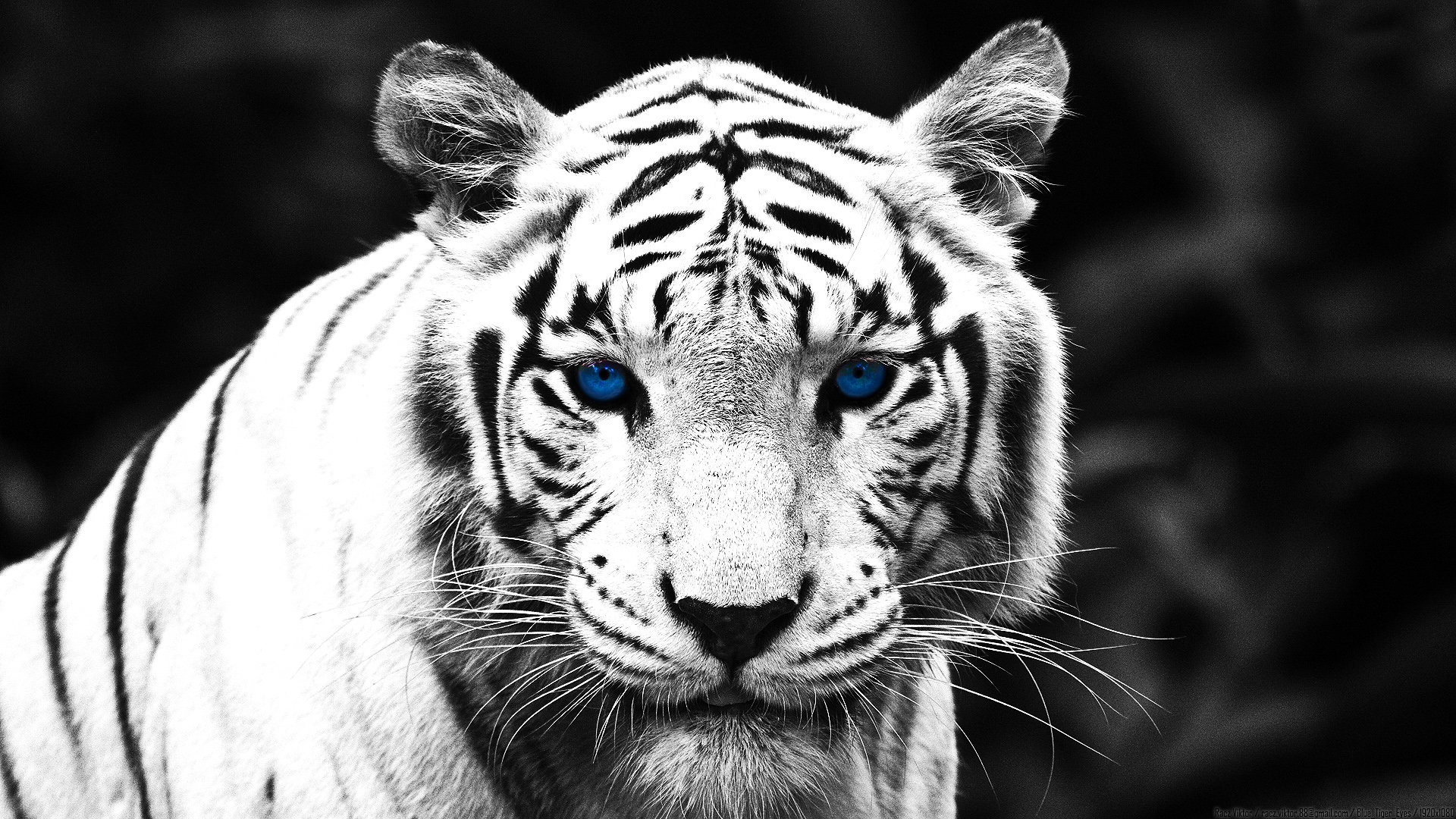 Awesome White Tiger free wallpaper ID:174889 for 1080p PC